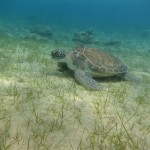 Decosta Bay Turtle